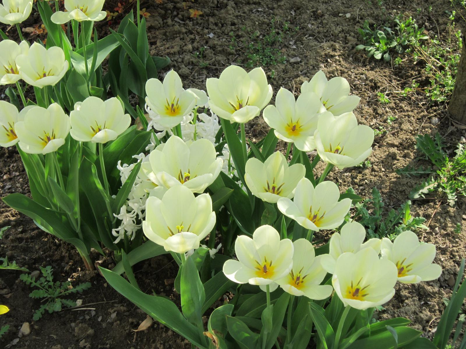 Pozvanie do našej jarnej záhrady - Biele tulipány u nás kvitnú vždy prvé...každý rok sa na ne teším