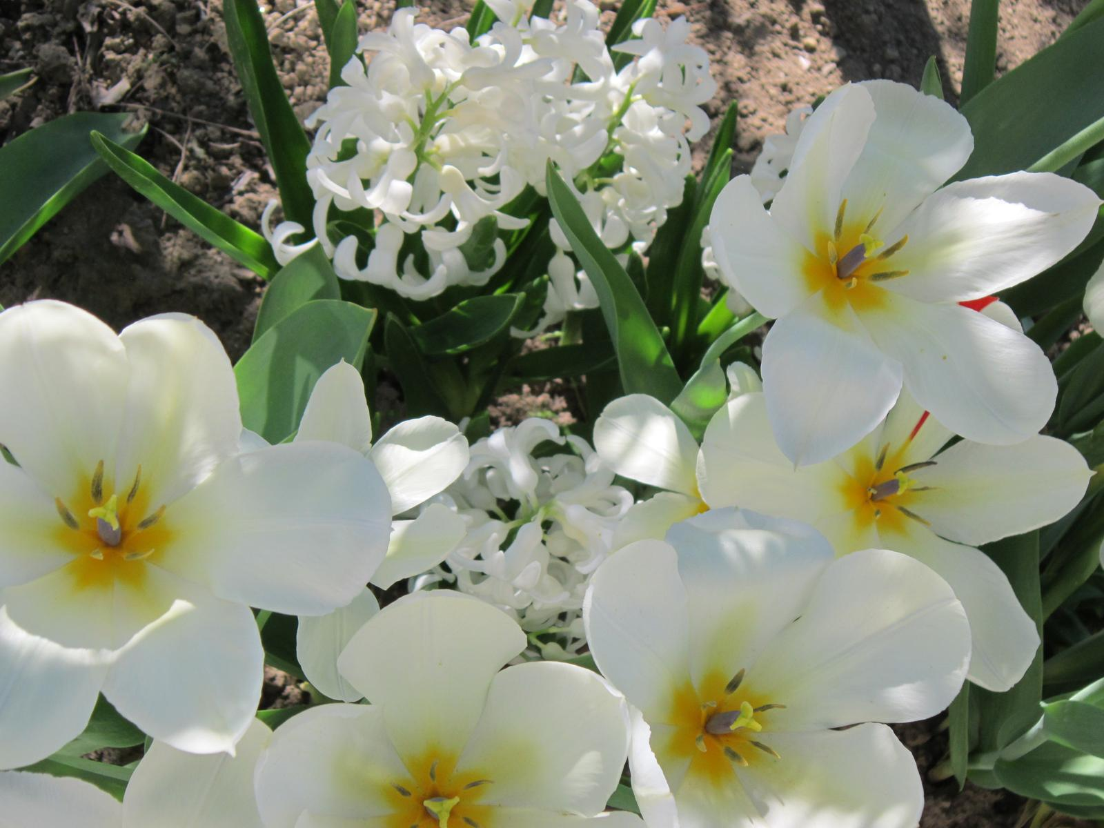 Pozvanie do našej jarnej záhrady - Nežná biela krása...