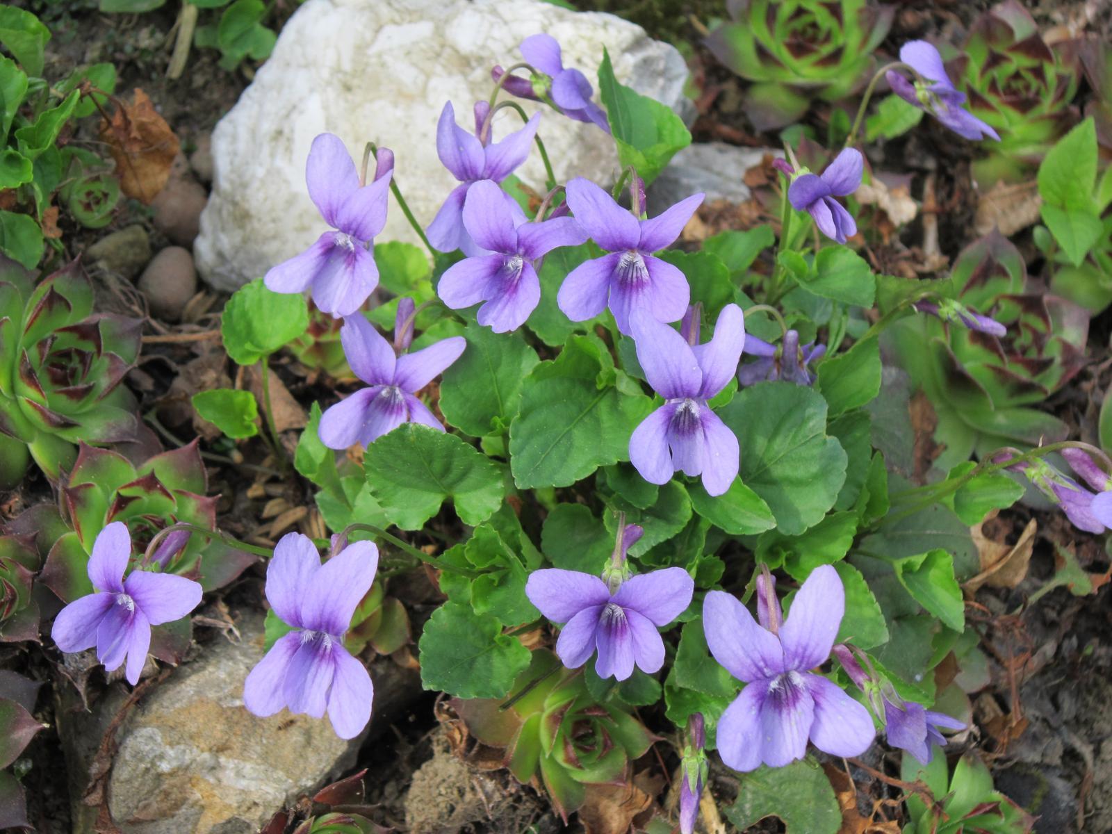 Pozvanie do našej jarnej záhrady - Vôňa fialiek nesmie chýbať...