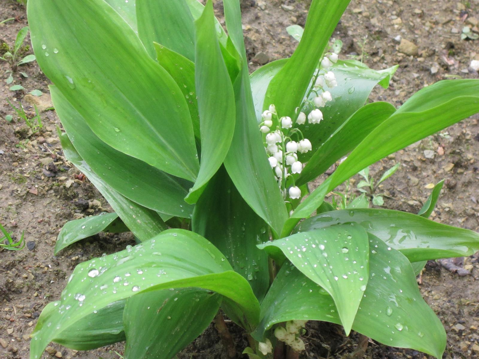Pozvanie do našej jarnej záhrady - Nežná konvalinka a jej vôňa...ach