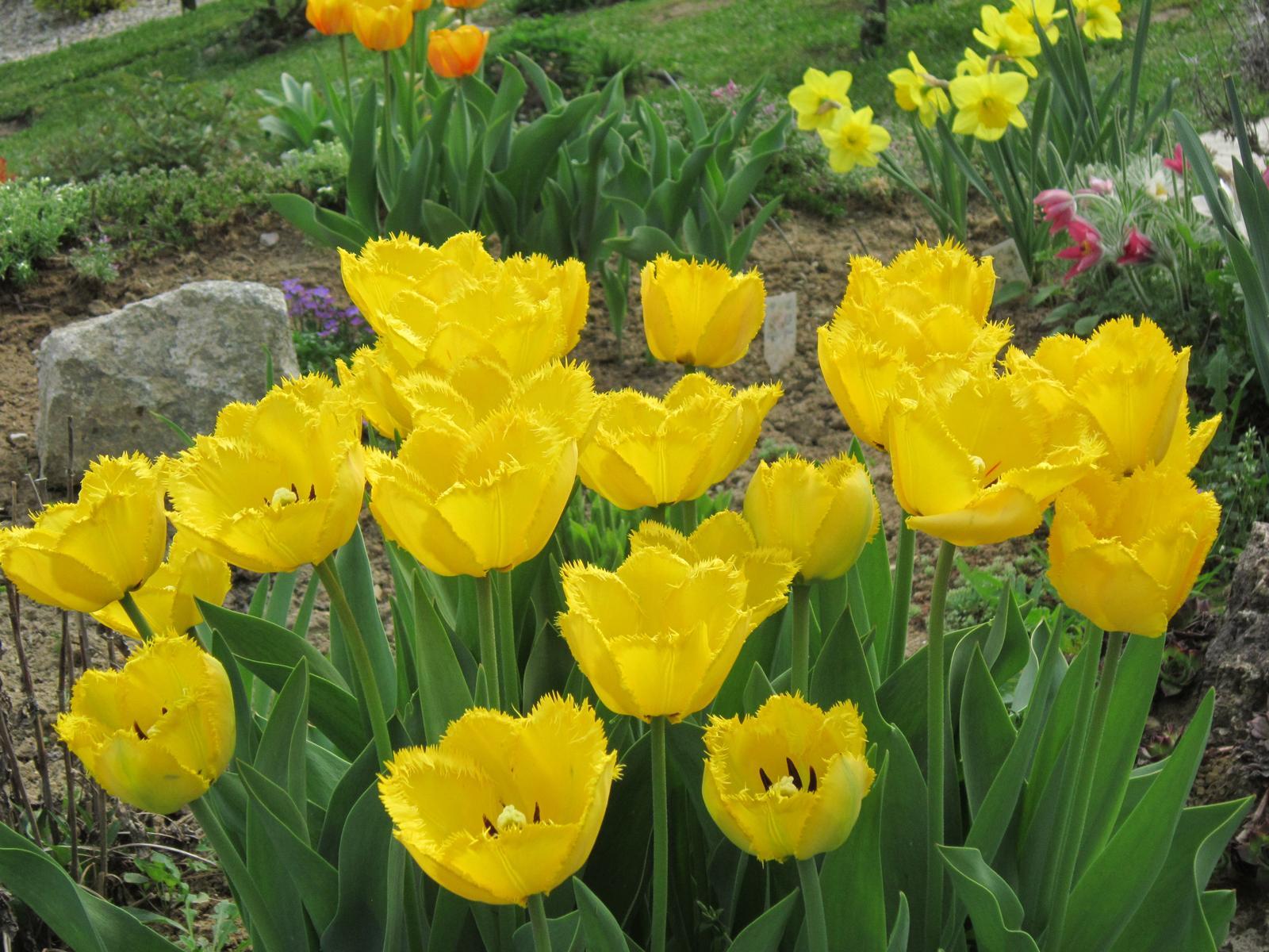 Pozvanie do našej jarnej záhrady - Žlté strapaté tulipány rozžiaria každú záhradu...