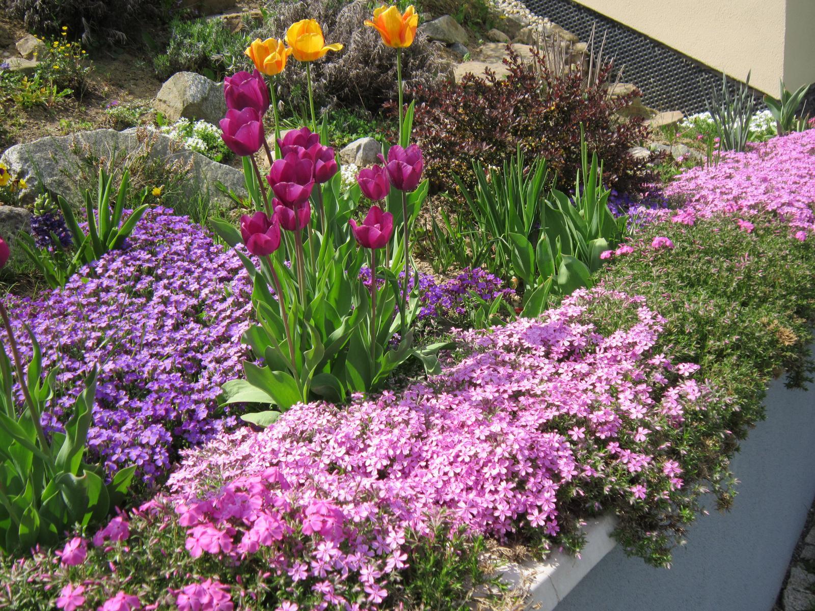 Pozvanie do našej jarnej záhrady - Nízke kobercové floxy sú stále bohatšie...