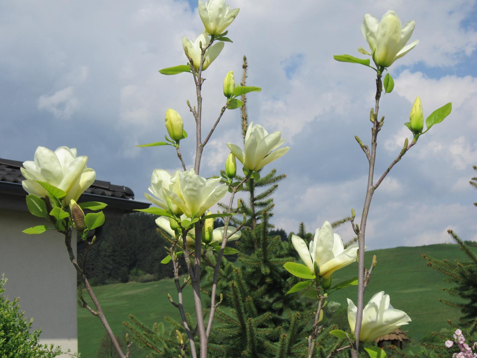 Pozvanie do našej jarnej záhrady - Žltá magnólia ma tento rok potešila nádhernými kvetmi...