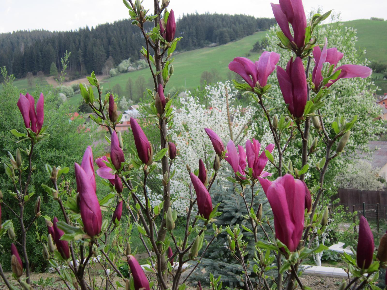 """Pozvanie do našej jarnej záhrady - Magnólia """" Susan """",tiež krásou nezaostáva ..."""