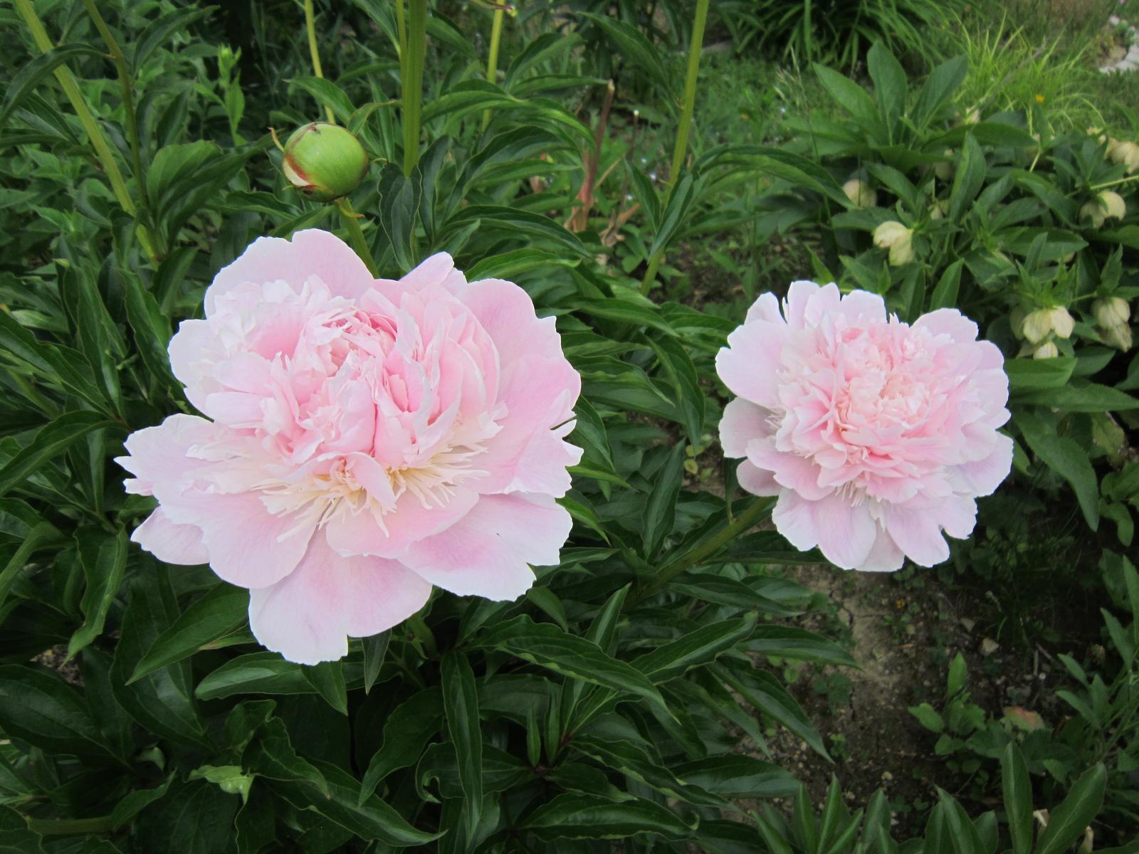 Pozvanie do našej jarnej záhrady - Nádherne voňajú...
