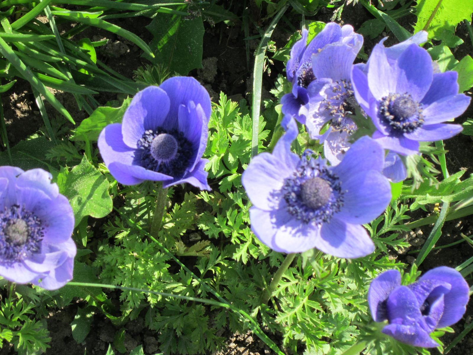 Pozvanie do našej jarnej záhrady - Anemonky vždy potešia svojou krásou...