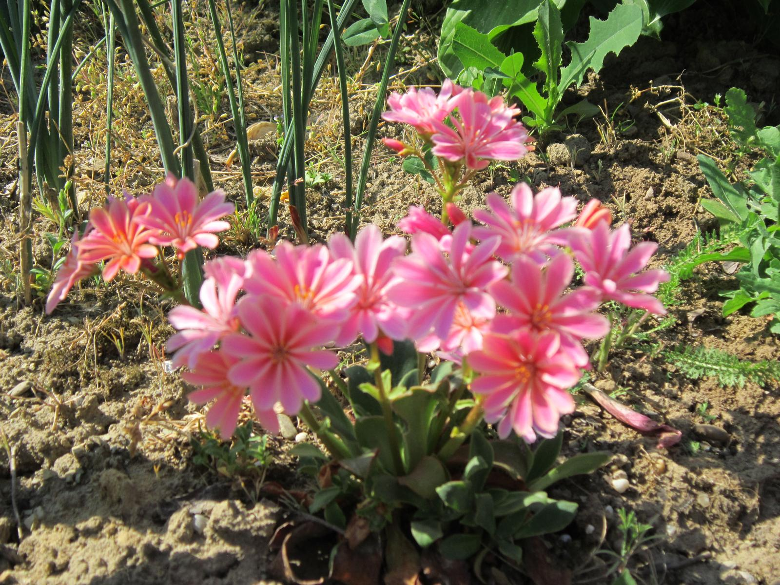 """Pozvanie do našej jarnej záhrady - Skalnička """"lewisia""""...predavačka mi ju neodporučila,že neprežije zimu...a ona predsa prežila...nechcela som tomu veriť po tých zimných mrazoch..."""