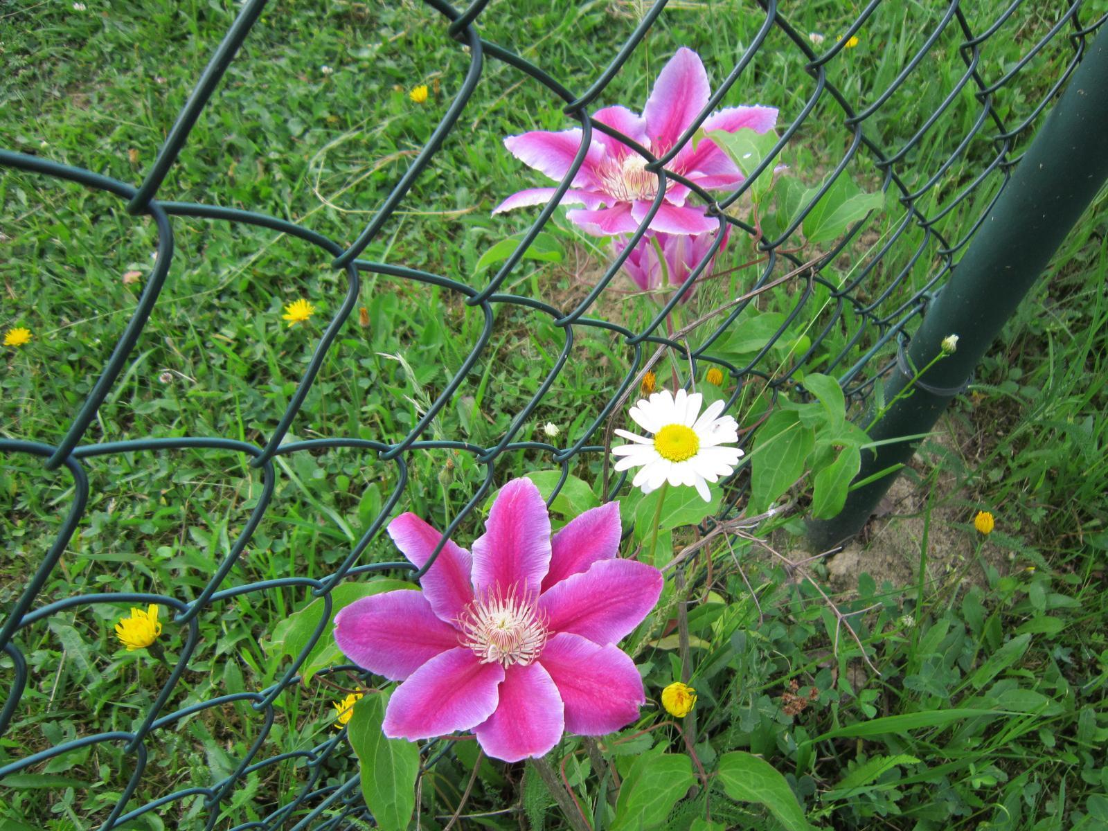 Pozvanie do našej jarnej záhrady - Plamienok utiekol za plot,asi sa zaľúbil do margarétky...;-)
