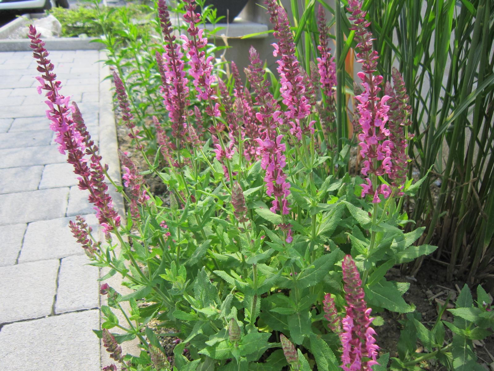 Pozvanie do našej jarnej záhrady - ružová šalvia
