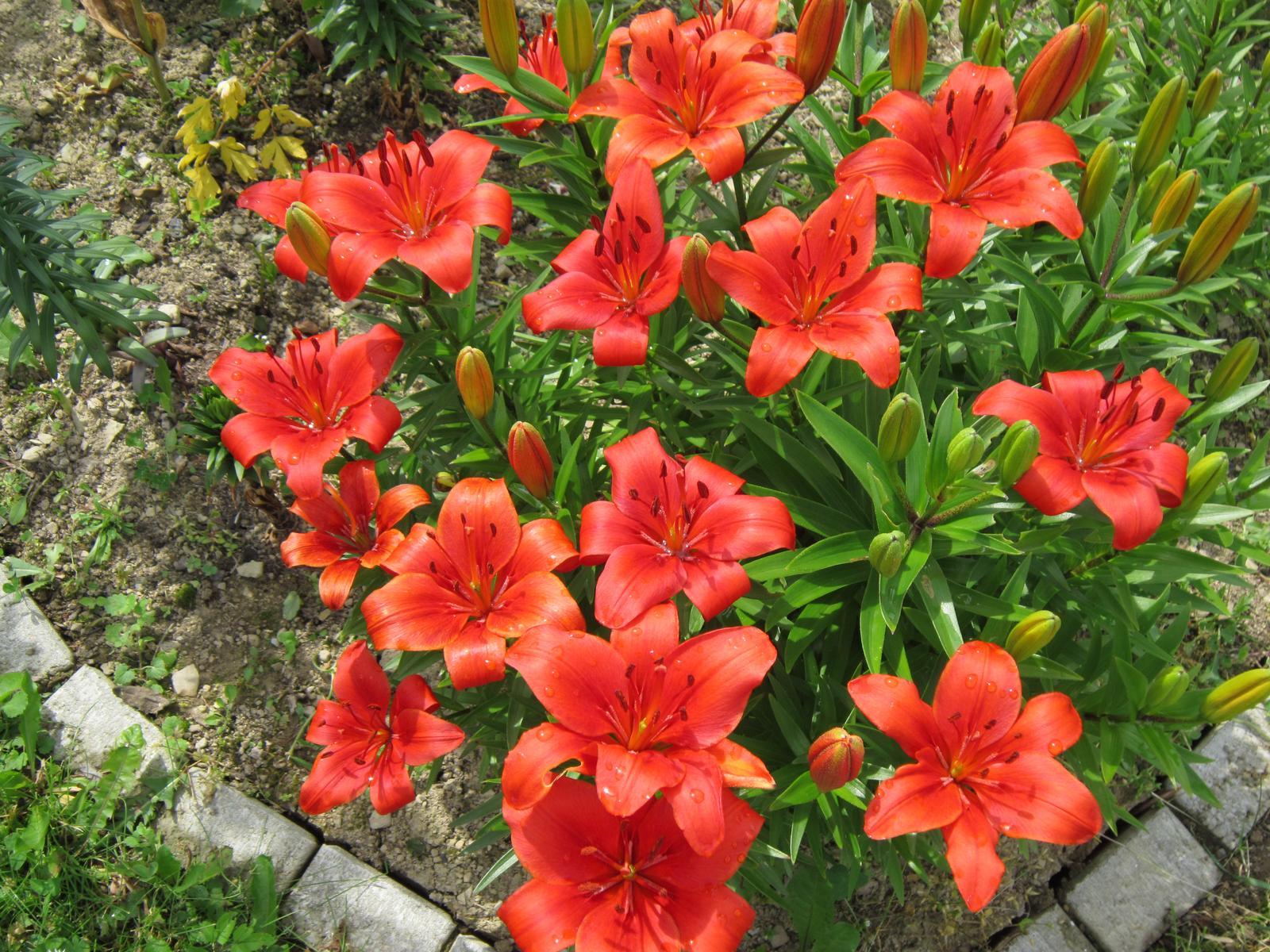 Pozvanie do našej jarnej záhrady - Ľalie terasové