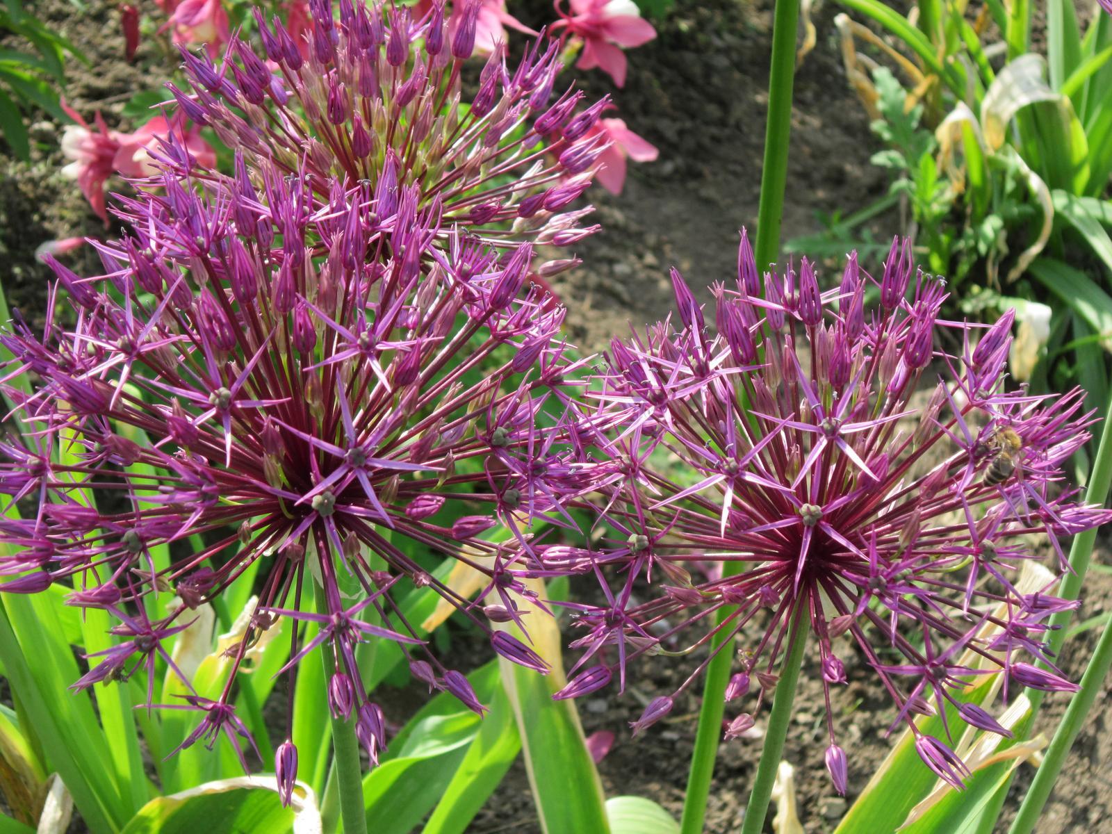 Pozvanie do našej jarnej záhrady - Orlíček medzi cesnakmi...pristane im to.