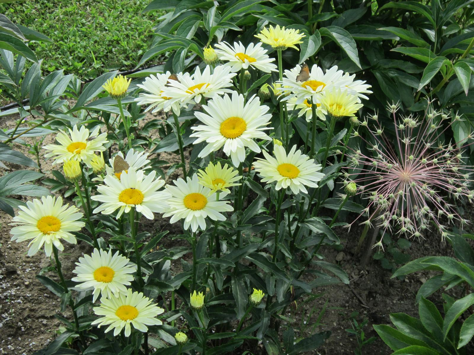 Pozvanie do našej jarnej záhrady - Žlté margarétky