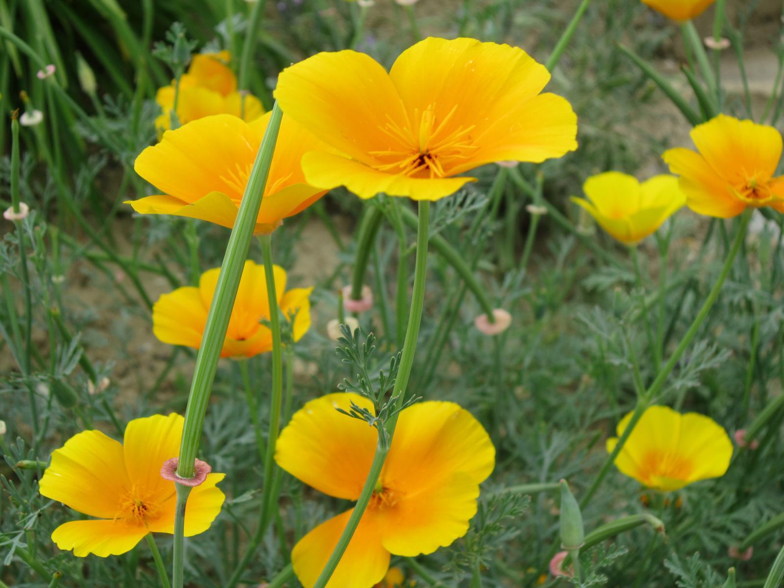 Pozvanie do našej jarnej záhrady - Slncovka má rada slniečko...