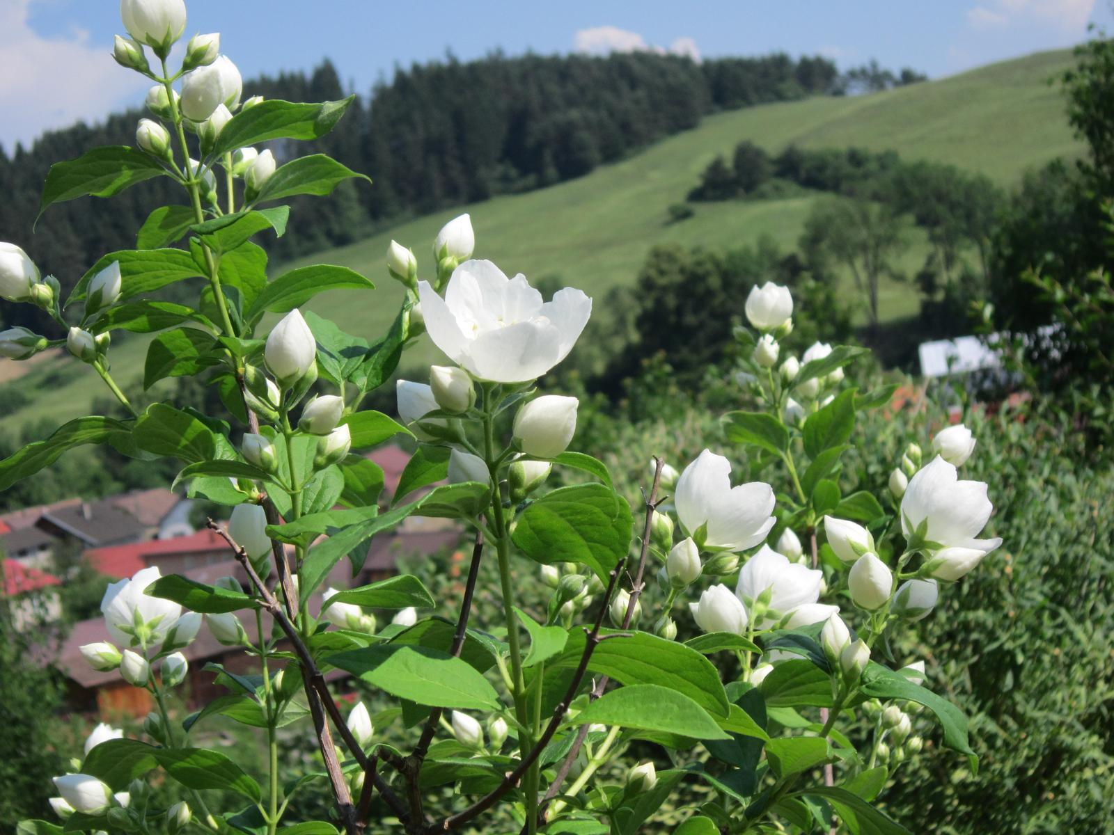 Pozvanie do našej jarnej záhrady - Pajazmín krásne vonia...prvý krát bohato zakvitol...