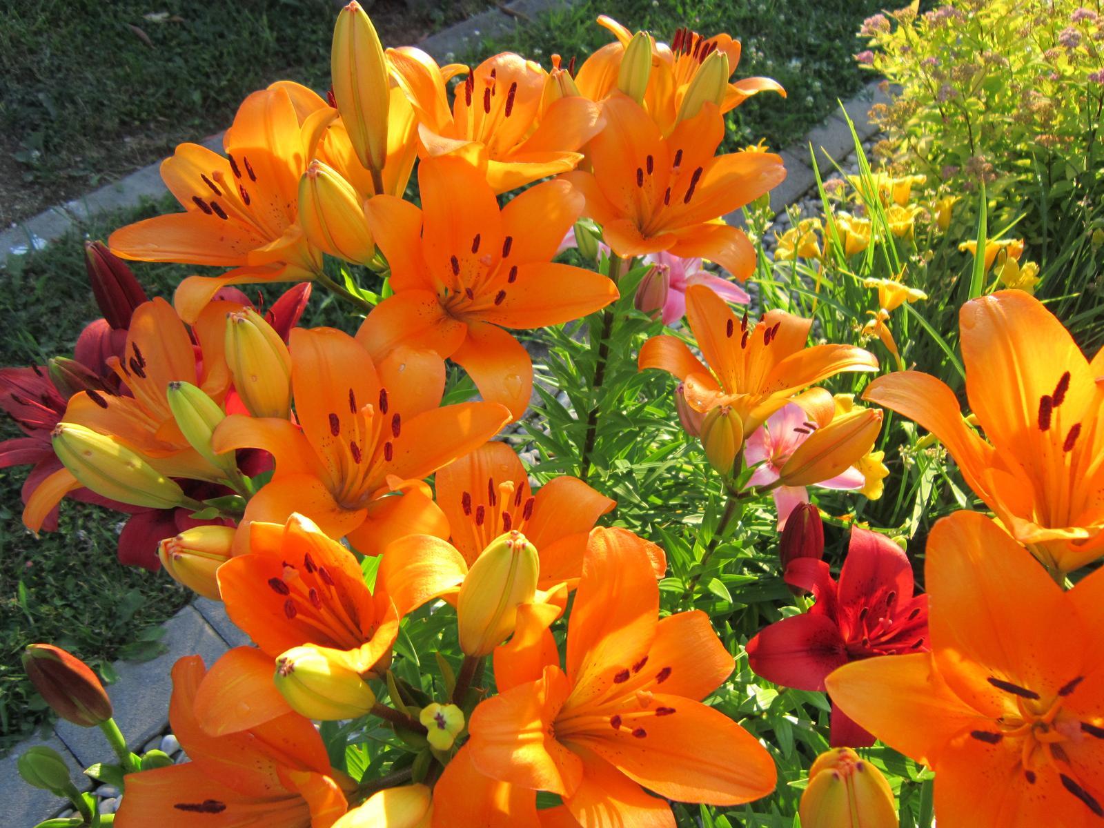 Pozvanie do našej jarnej záhrady - Ľalie rozžiarili celú záhradu