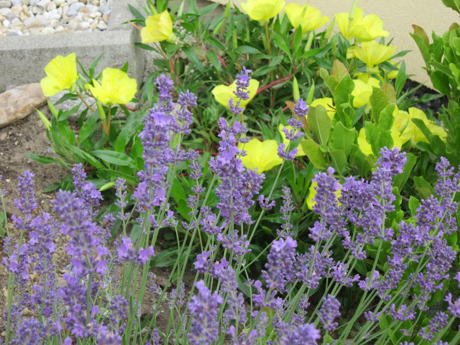 Pozvanie do našej jarnej záhrady - levandula so žiarivou púpalkou