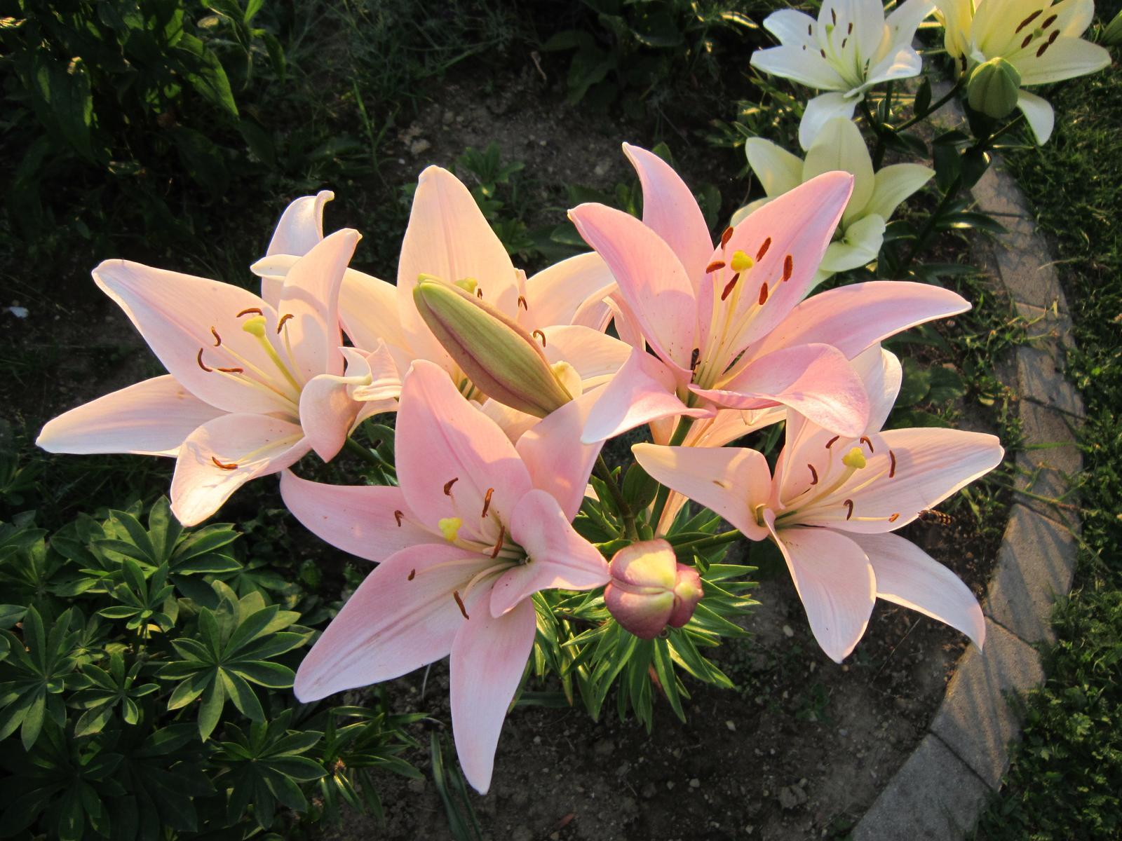 Pozvanie do našej jarnej záhrady - Pri západe slnka vyzerajú ľalie veľmi nežne...