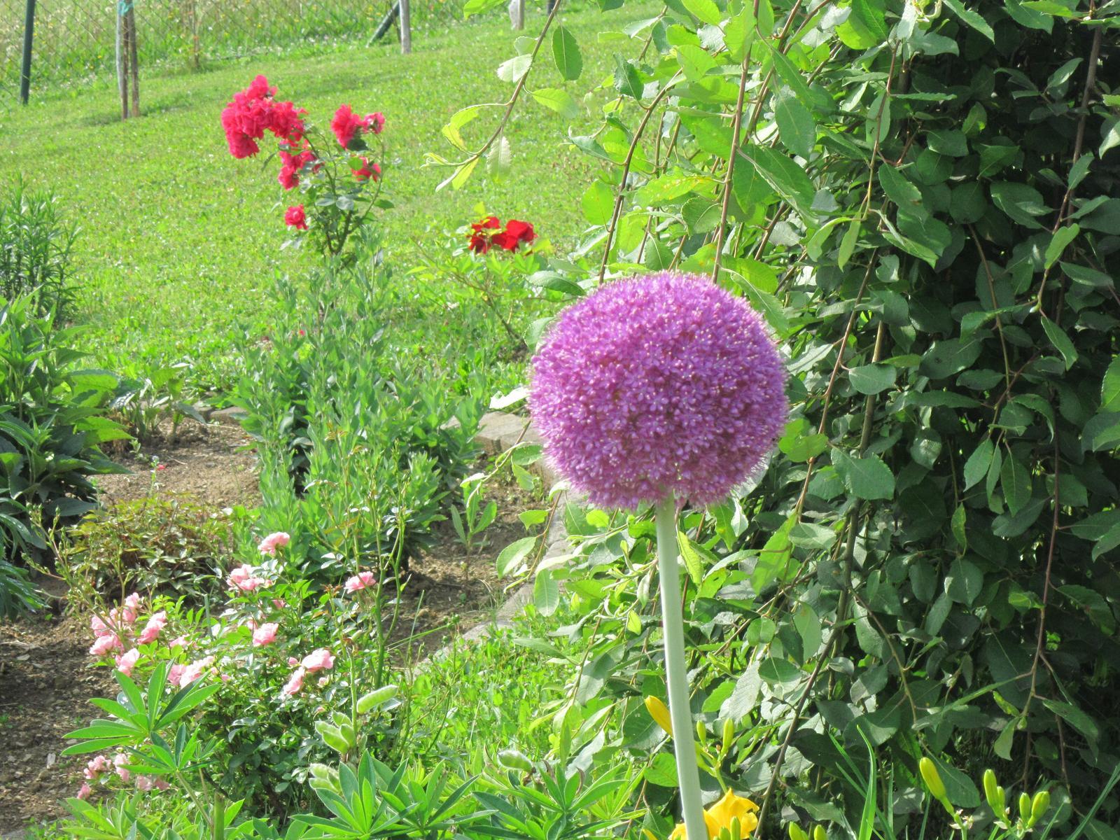 Pozvanie do našej jarnej záhrady - Posledný okrasný cesnak...