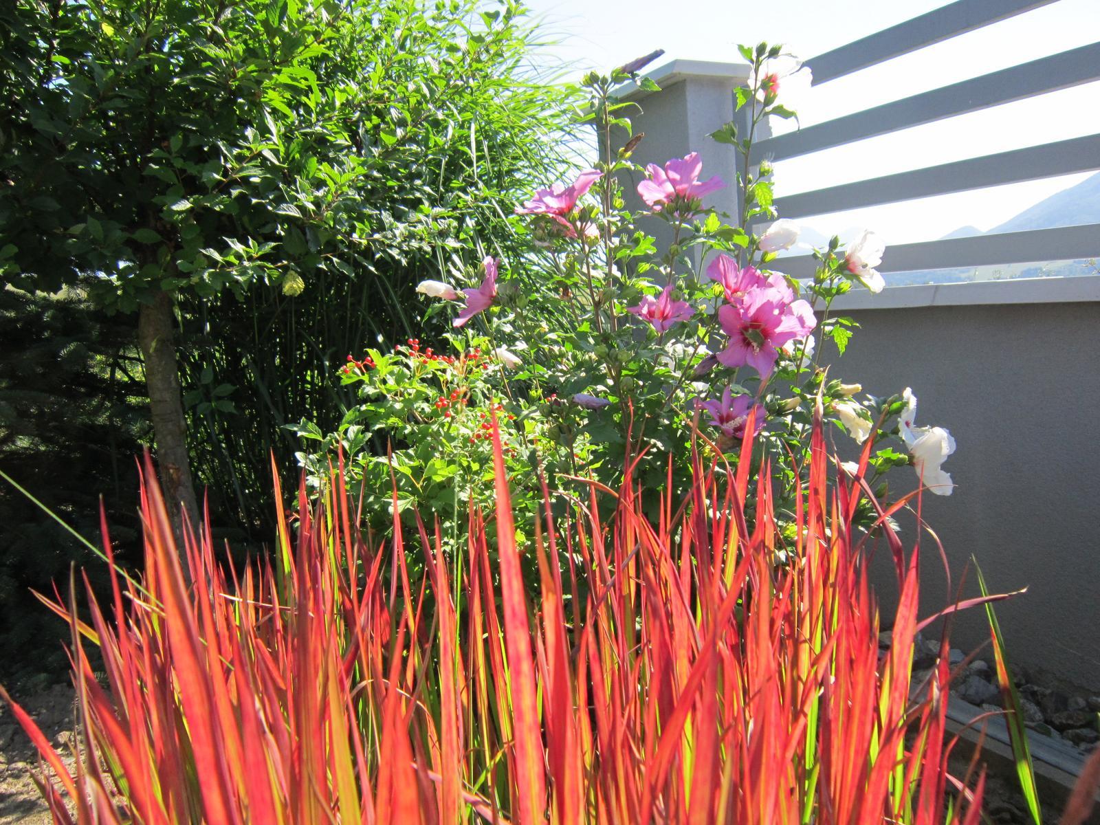 """Moja záhrada...ako šiel čas - Tráva """"red baron"""" žiari ako plamene..."""