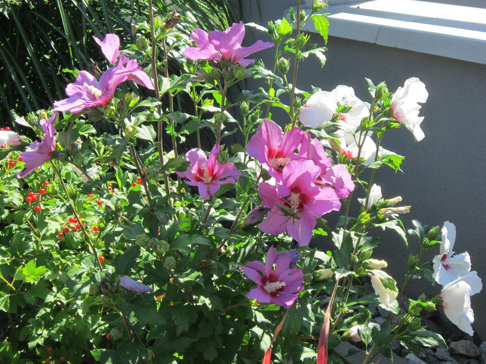Moja záhrada...ako šiel čas - Dvojfarebný ibištek rozžiari každý kút záhrady...