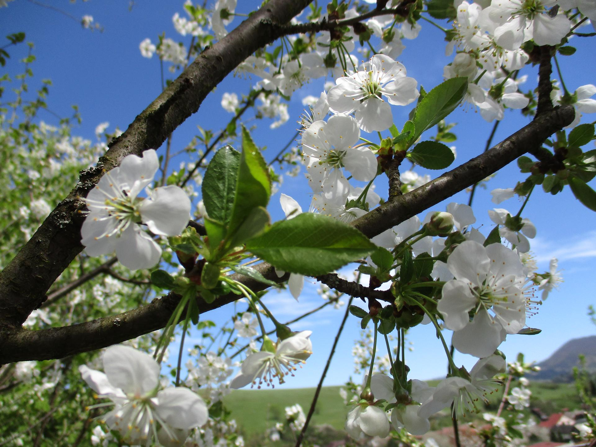 Jar v našej záhrade - Čerešňa zakvitla ako prvá...je to nádherný pohľad ...