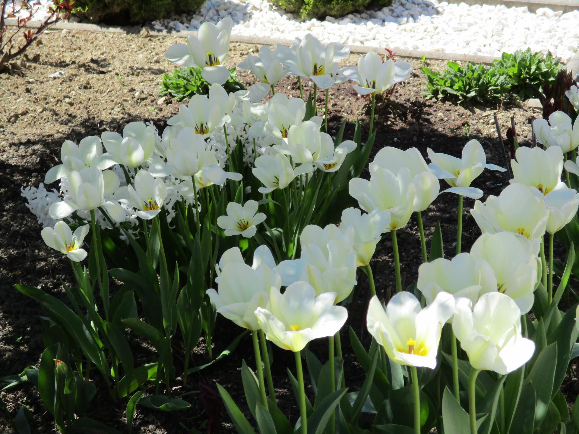 Jar v našej záhrade - Snežná krása bielych tulipánov ma teší každý rok