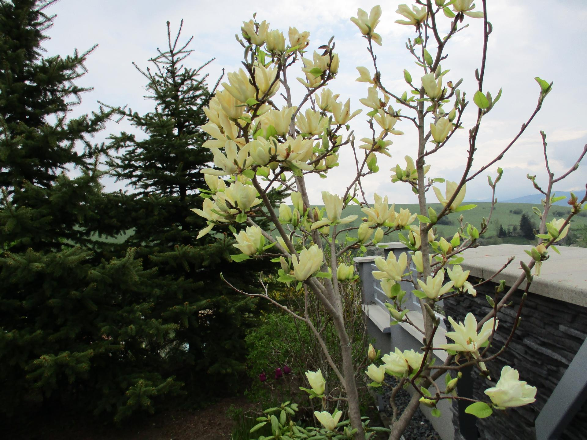 Jar v našej záhrade - Žltá magnólia tento rok prežila i mrazy...