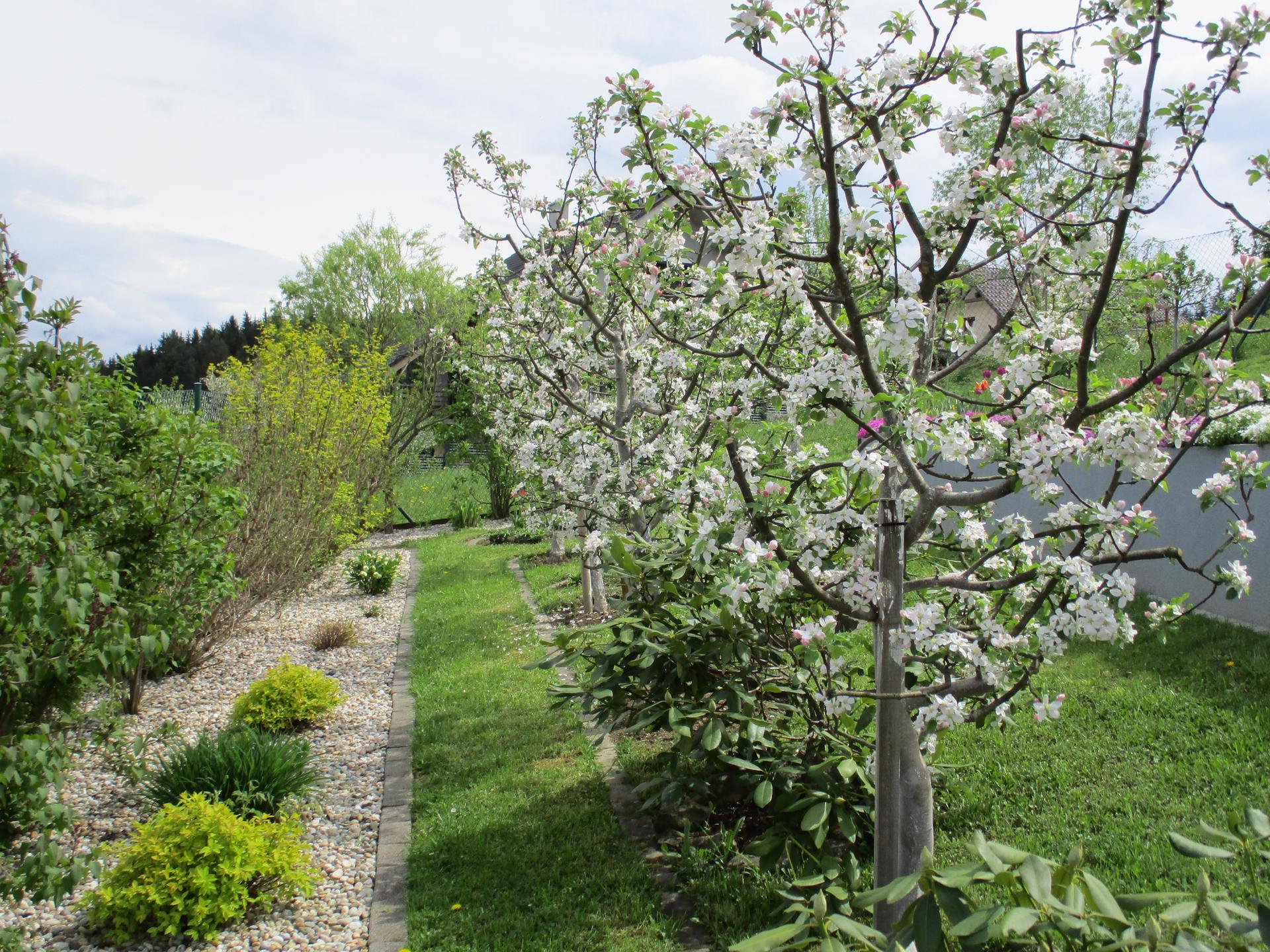 Jar v našej záhrade - Moja jabloňová alej krásne zakvitla :)