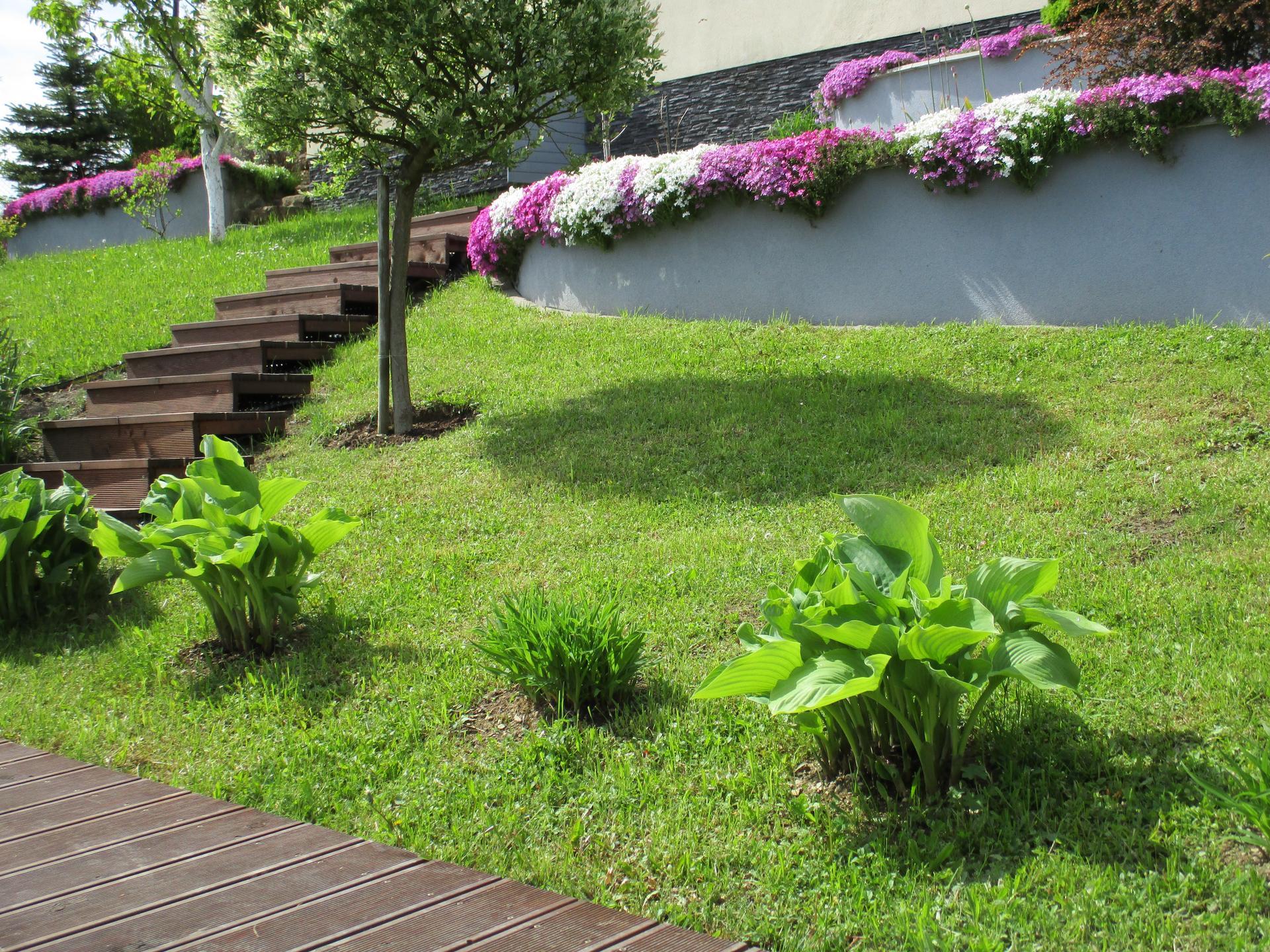 Čo je nové v našej záhrade - Hosty sa začínajú pekne rozvíjať :)
