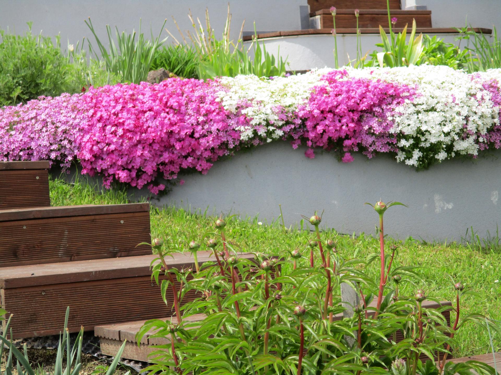 Jar v našej záhrade - Pivonky už majú pekné púčiky...veľmi sa teším,keď rozkvitnú :)