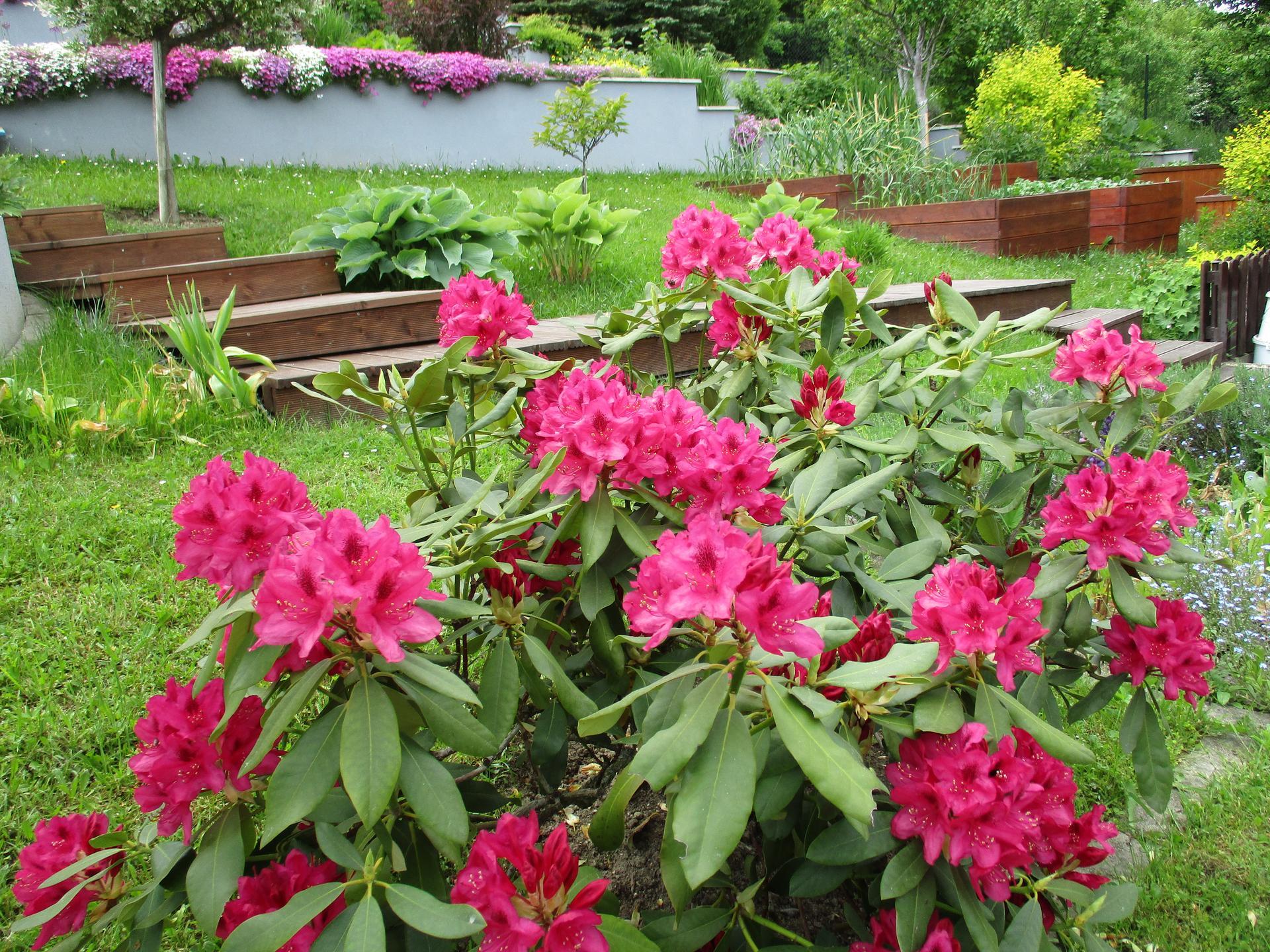 Jar v našej záhrade - Začali kvitnúť rododendróny :)