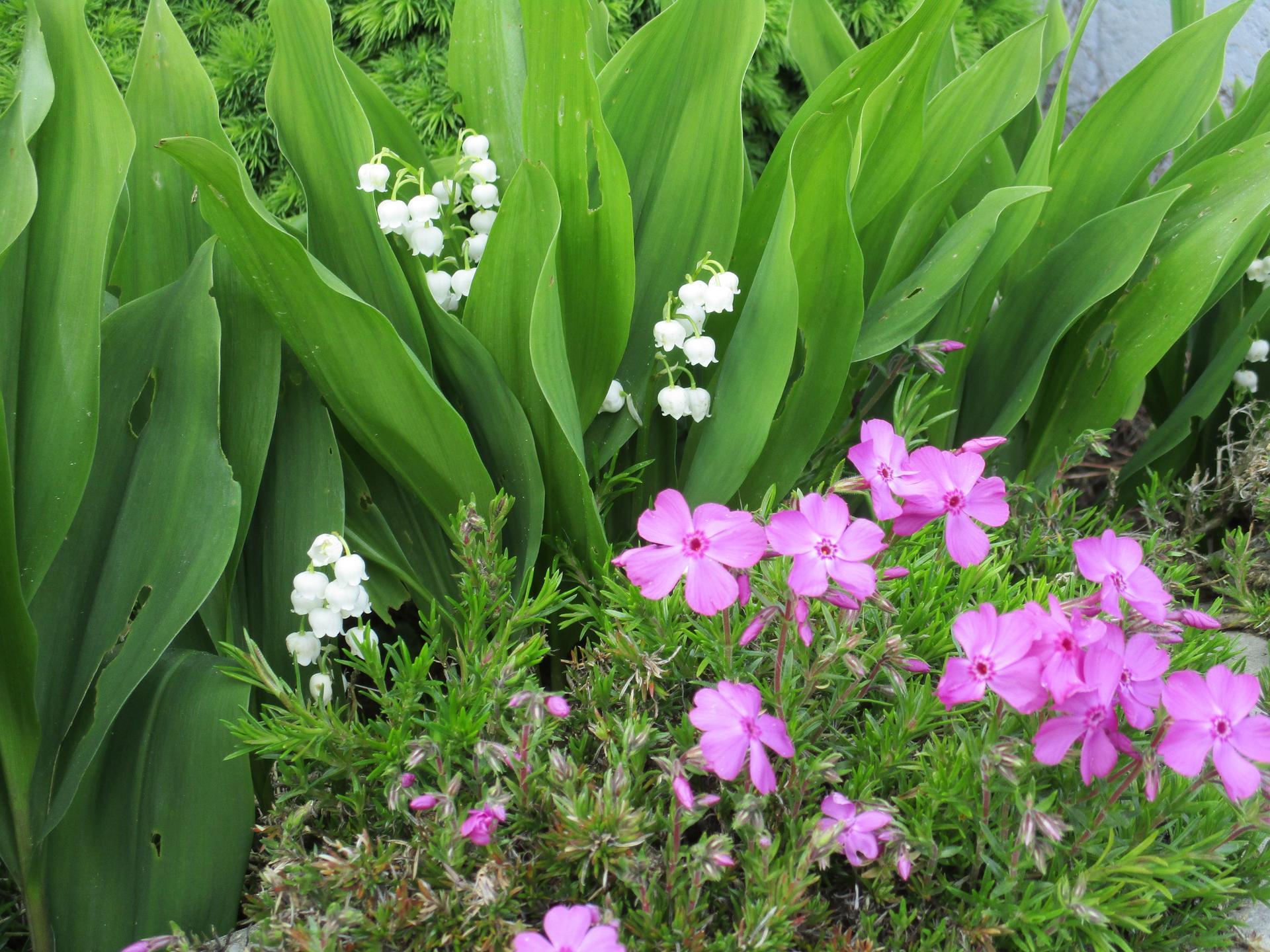 Jar v našej záhrade - Posledné konvalinky :)