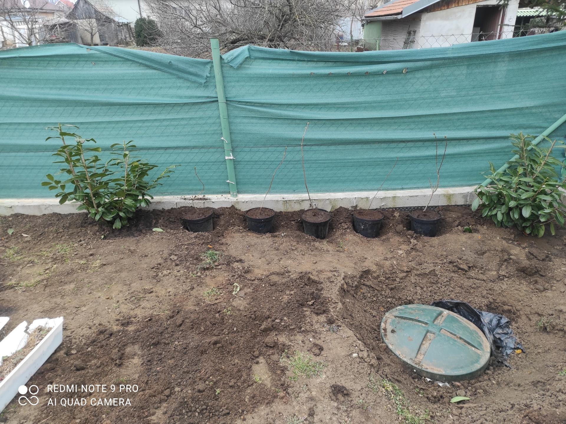 Vidiečan - pokračujeme vonku. - Dnes vysadený orgován odkopaný od rodičov, ako živý plot. Chcela by som ho pestovať na kmienku a upravovať, aby rástol iba pri plote s nízkymi trvalkami dolu.