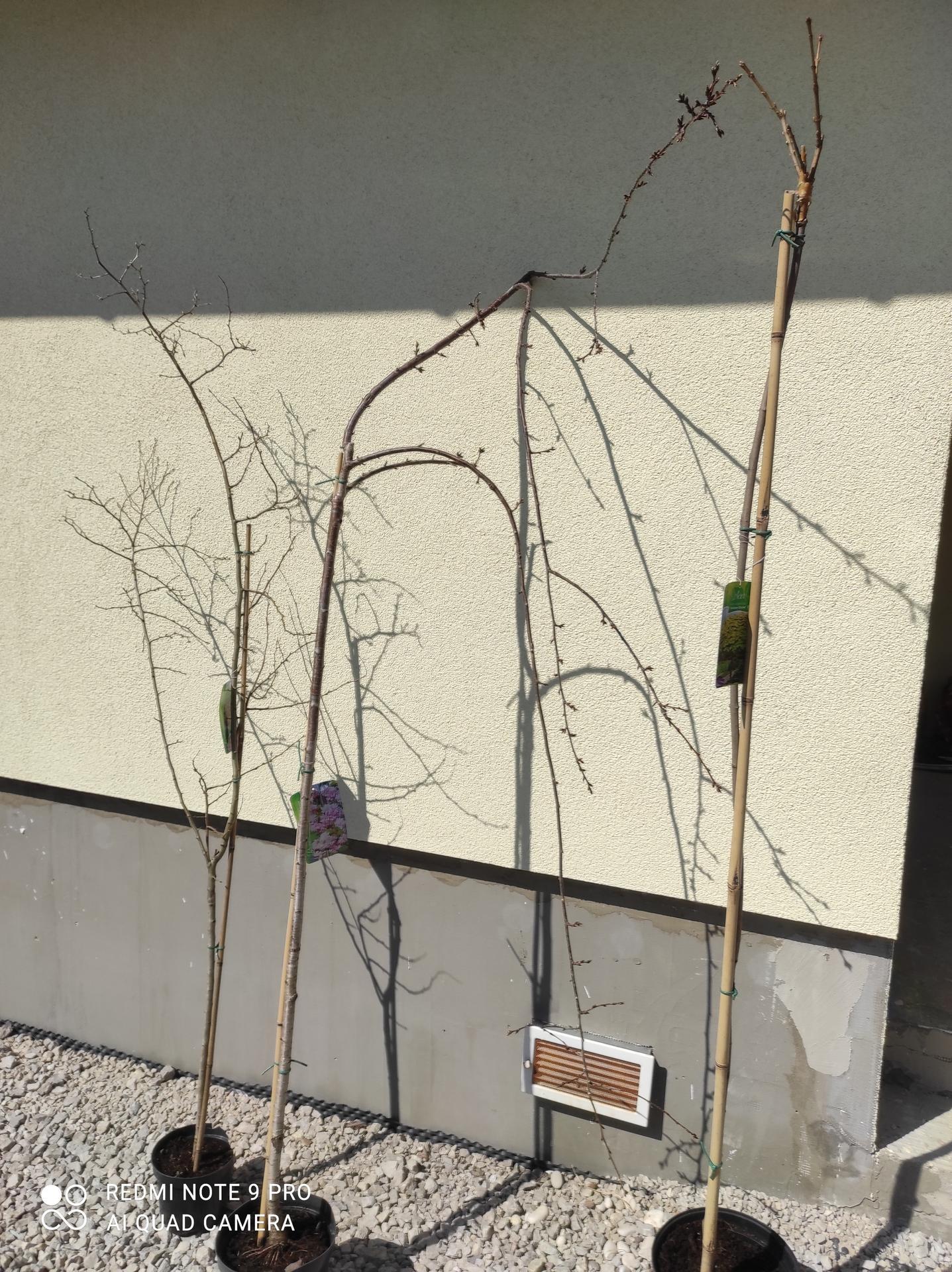Vidiečan - pokračujeme vonku. - Prišli nejaké stromy: hloh, čerešňa, javor.