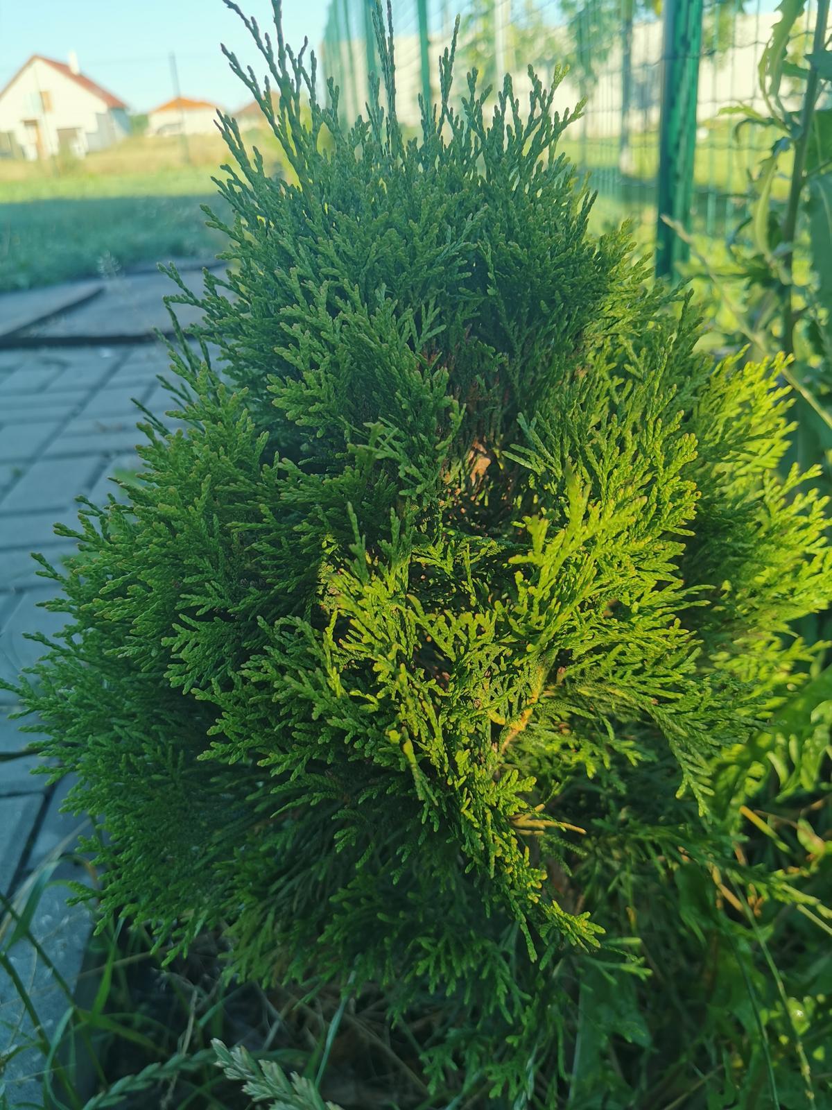 Tuja Smaragd - Obrázok č. 1