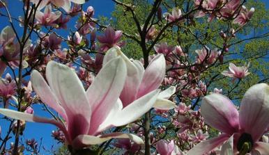 Budeme sázet strom/keř- nádherně květoucí magnolii