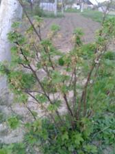 aj ríbezličky rozkvitli a v pozadí posadené zemiačky