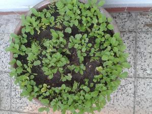 Na balkóne veľký kvetináč plný zdravia-rukola,zmes šalátov,reďkovka