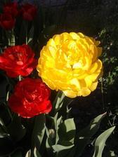 konečne rozkvitli aj tie gulaté-krajšie tulipány som ešte nevidela