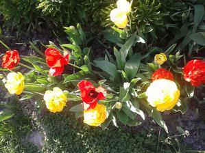 žlté tulipány sú ako pivonky