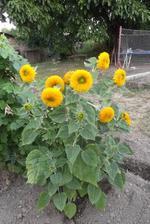 slnečnička pre alergikov
