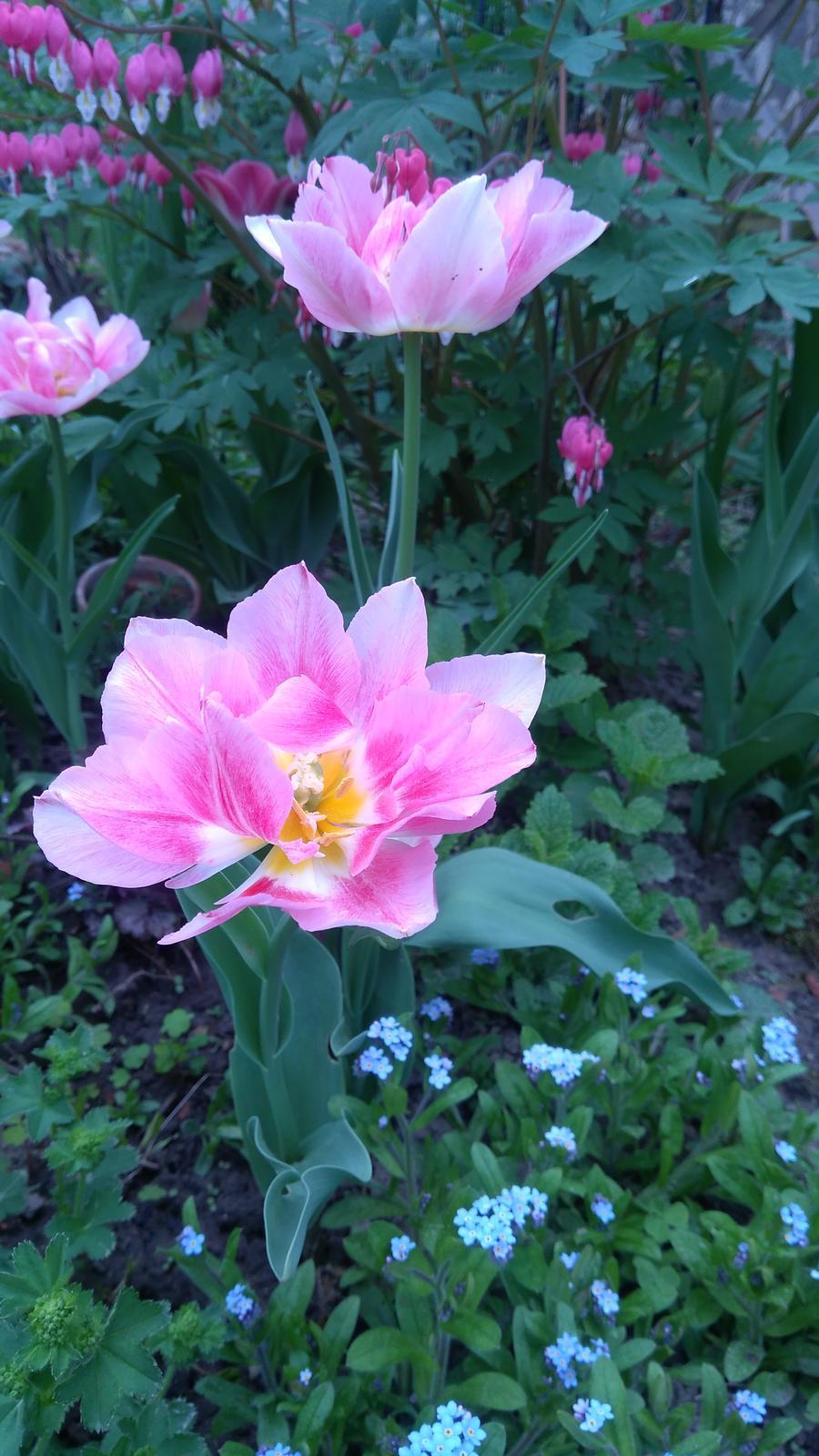 Z našej záhradky - Nezábudky sú všade, ako burina