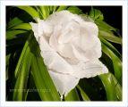 a bílá květina - růže nebo kaly