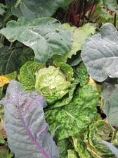 i kdyz trochu housenek prece jen prislo, cele leto jsme nemuseli kupovat zeleninu ...