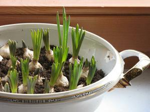 6. březen ... modřence stejně jako tulipány, česneky už povytahují ...