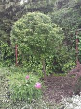 Od susedov nám neustále prerastal divý krík. U nás v záhrade som ho  premenila na stromček.Krík je  v pozadí môjho stromčeka