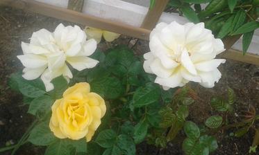 Naše prvé ruže Arthur Bell