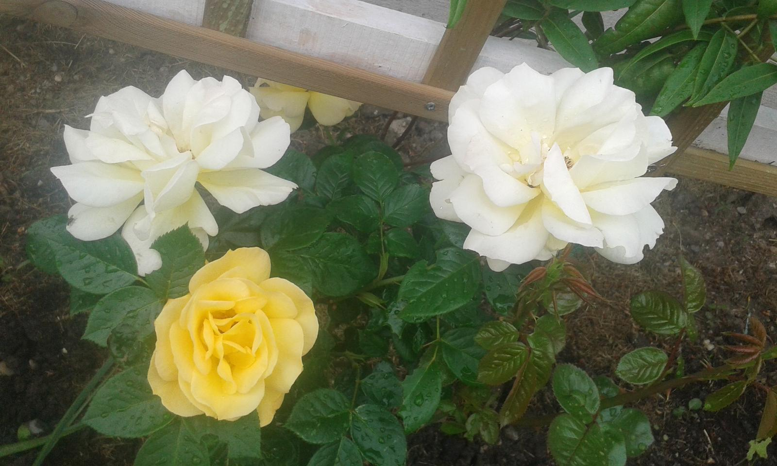 Naše átrium - Naše prvé ruže Arthur Bell