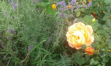 Anglická ruža Lady of Shalott