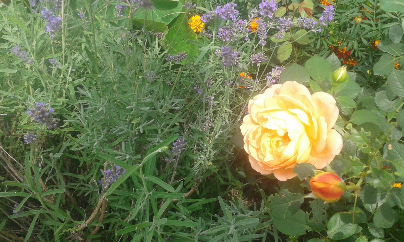 Naše átrium - Anglická ruža Lady of Shalott